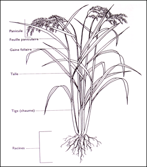 RichAppendix together with Counterweight together with Histamine Physiologic Effects likewise The Rice Plant further Similarities Between Ruminant And Non Ruminant Digestive Tracts. on system diagram